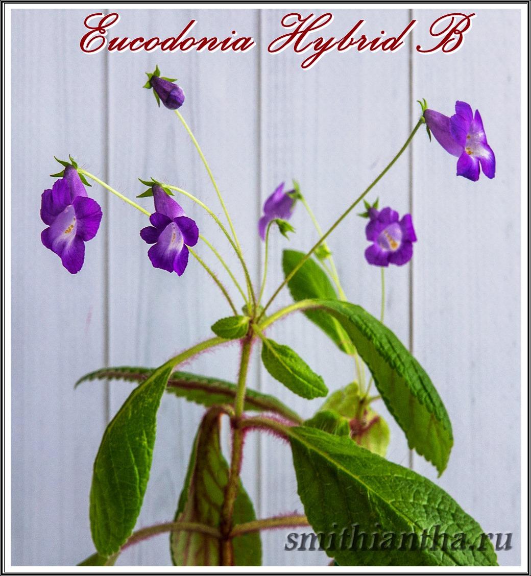 Эукодония Hybrid B
