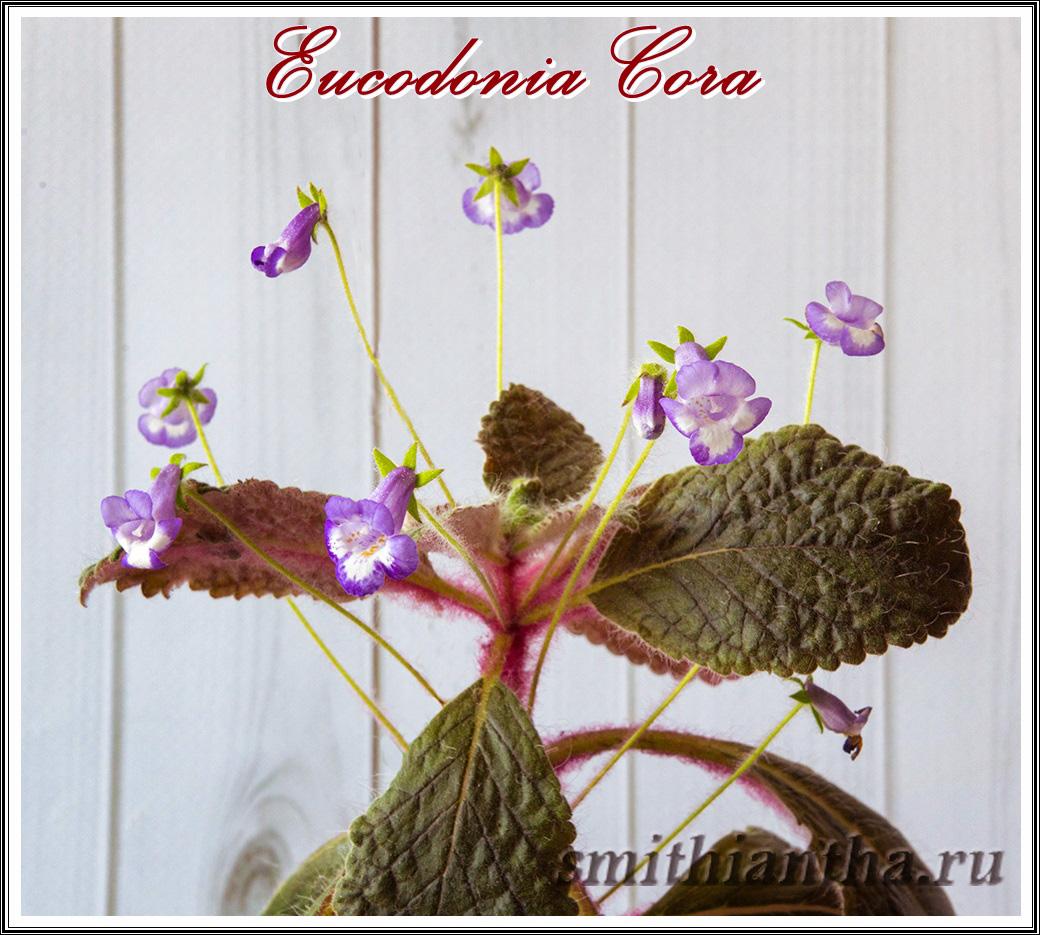 Эукодония Cora