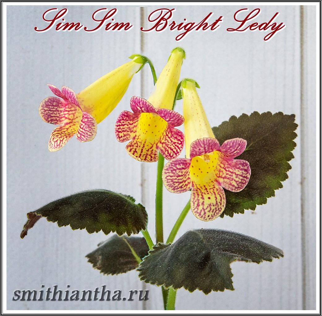 Смитианта SimSim Bridht Ledy
