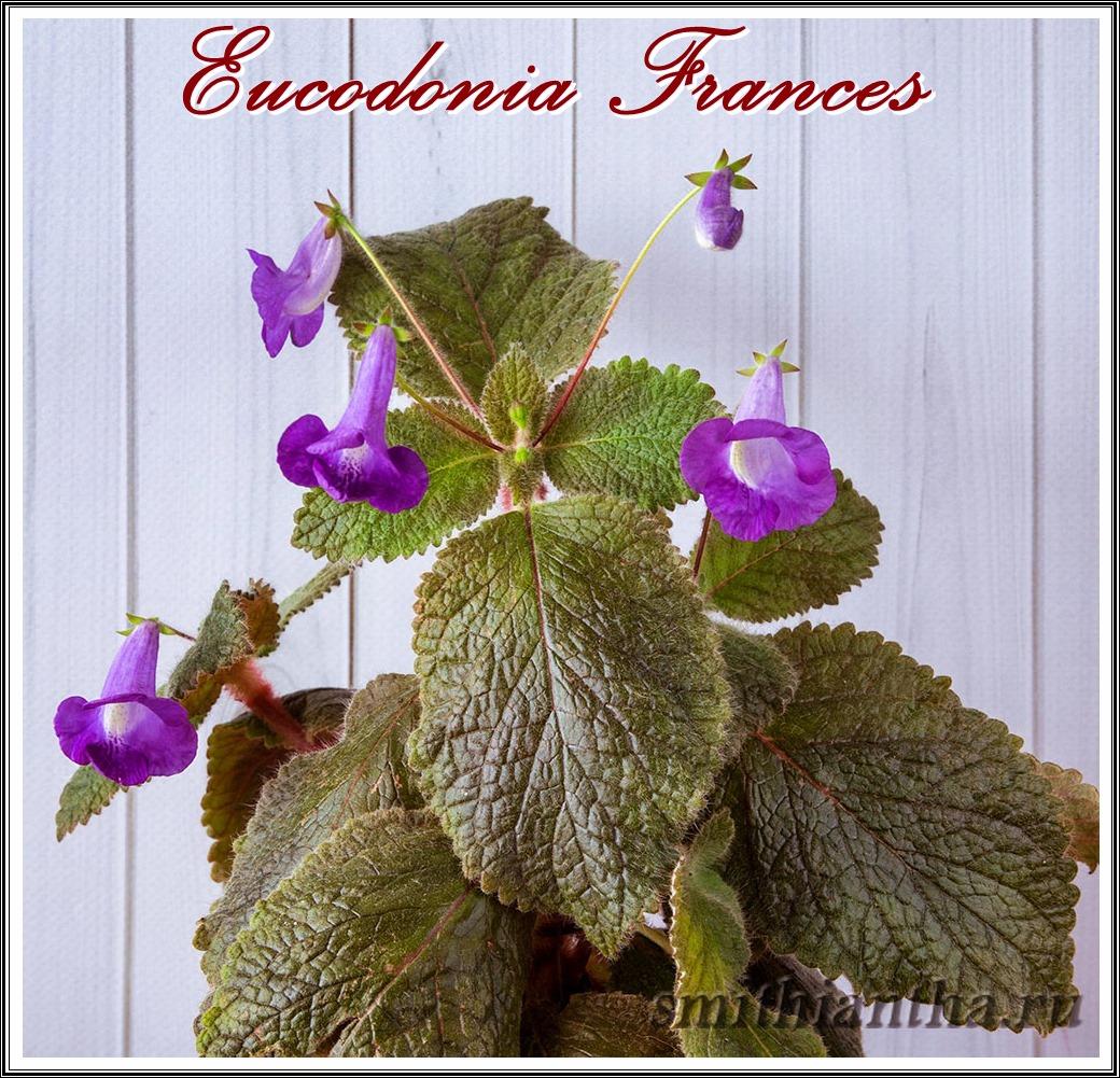 Эукодония Frances