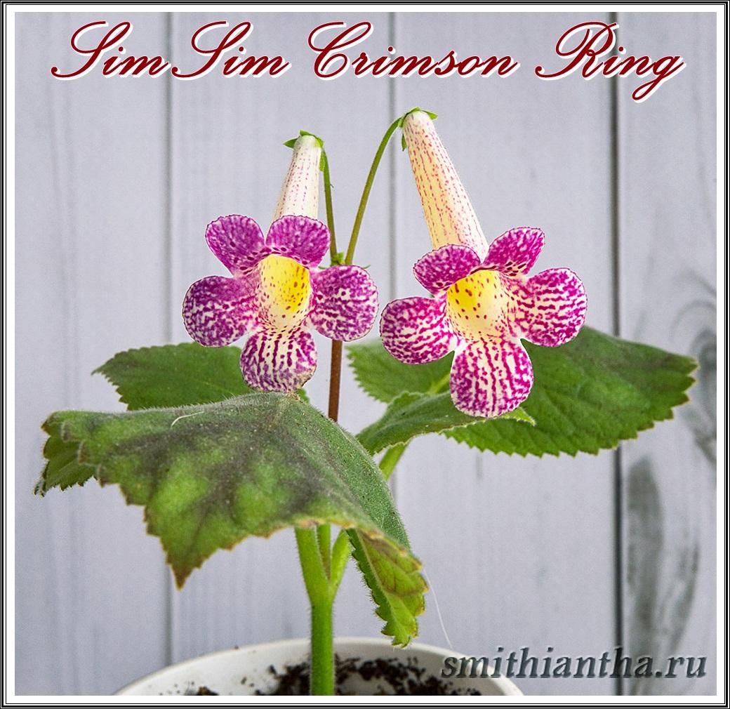 Смитианта SimSim Crimsin Ring