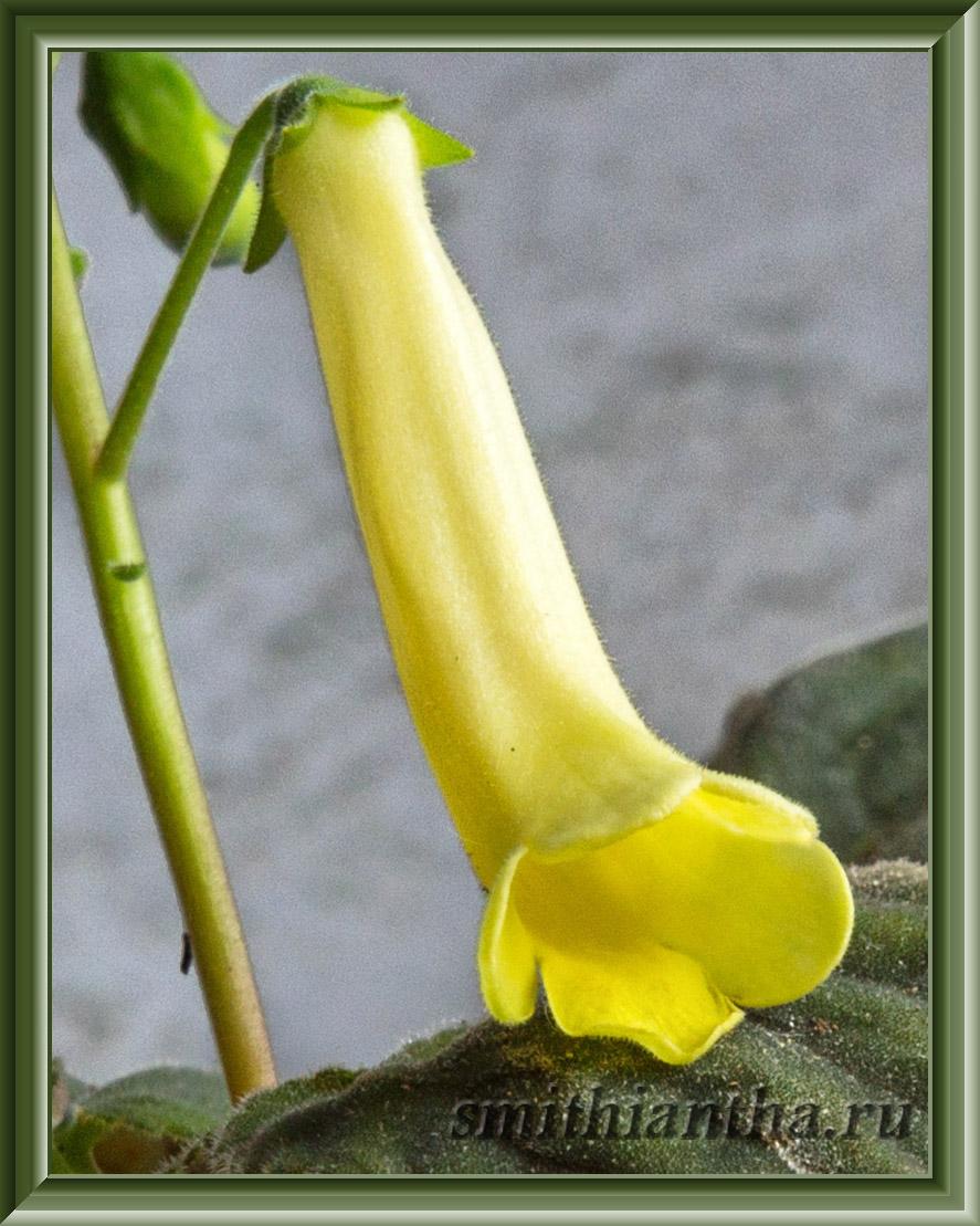 Смитианта canarina
