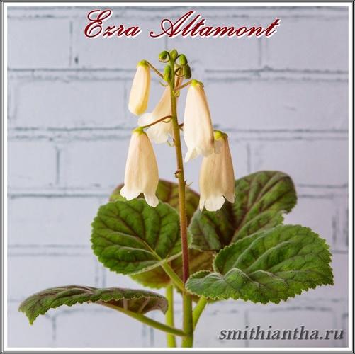 Смитианта Ezra Altamont