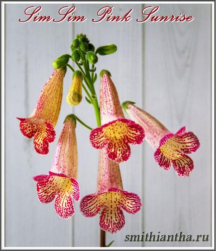 Смитианта SimSim Pink Sunrise