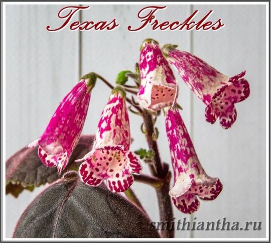 Смитианта Texas Freckles
