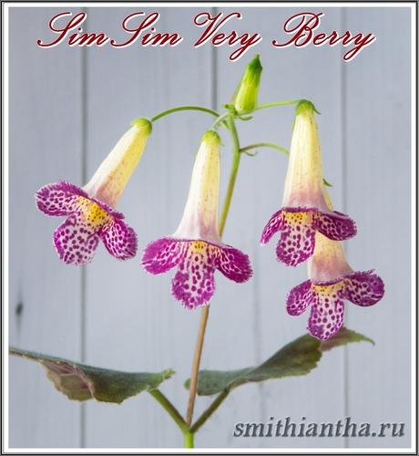 Смитианта SimSim Very Berry