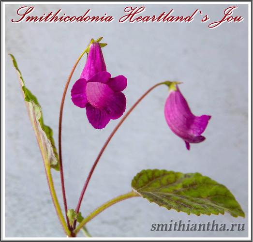 Смитикодония Heartland's Joy