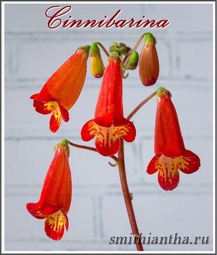 Смитианта Cinnibarina