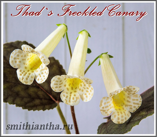 Смитианта Thad`s Freckled Canary