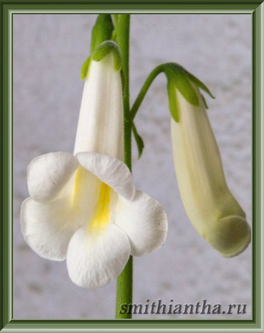 Смитианта multiflora