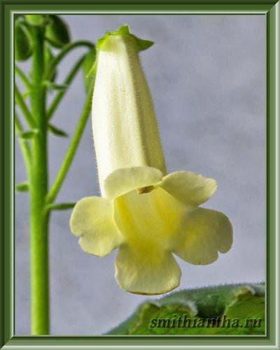 Сеянец желтой смитианты