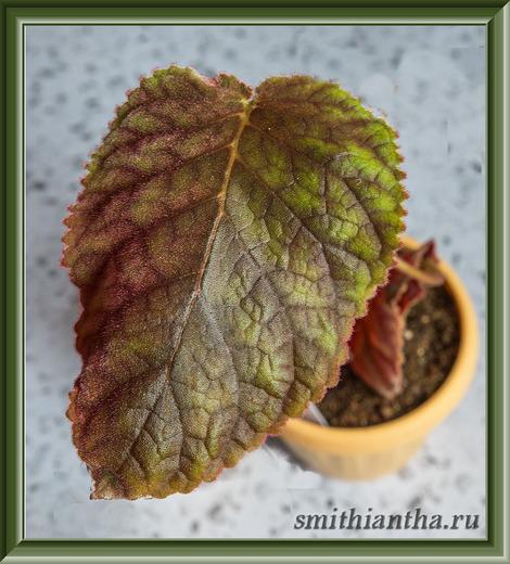 Листья смитианты Speckled Salmon