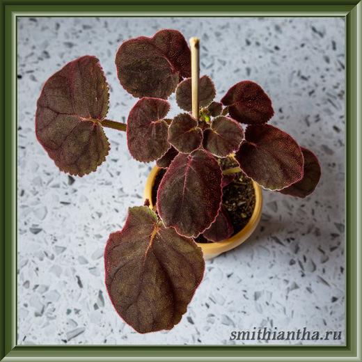 Листья смитианты Cinnabarina